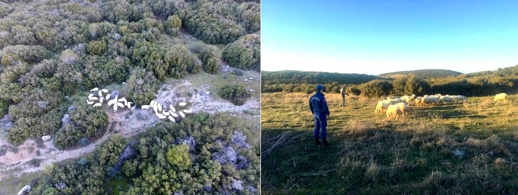 Ezine'de Kaybolan Koyunları Jandarma Drone İle Buldu