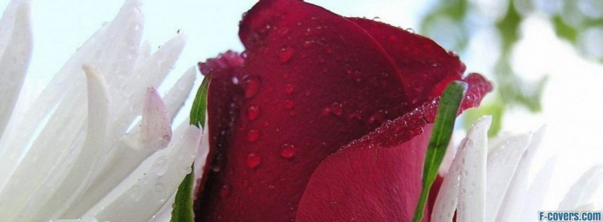 Red Rose Bud Beautiful Flowers Facebook Cover Timeline