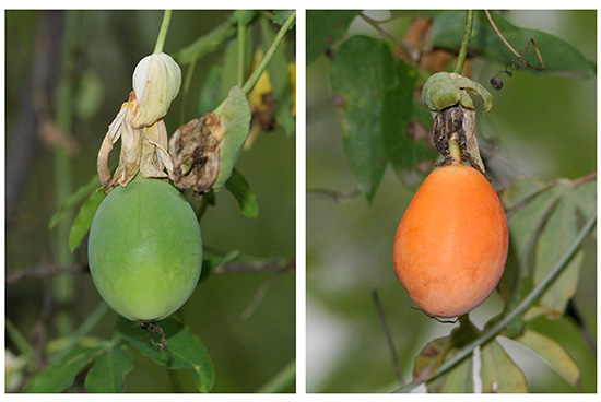 passiflora floarea pasiunii fruct