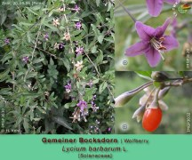 Floarea si fructul de Goji