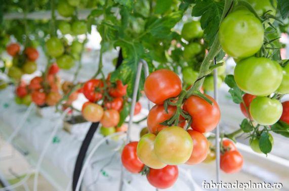 Cultura hidroponica de tomate