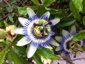 Passiflora caerulea - albastrul cerului