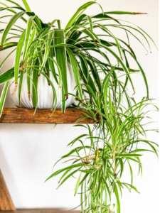 Chlorophitum - planta paianjen