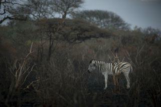 Zèbre sud-africain