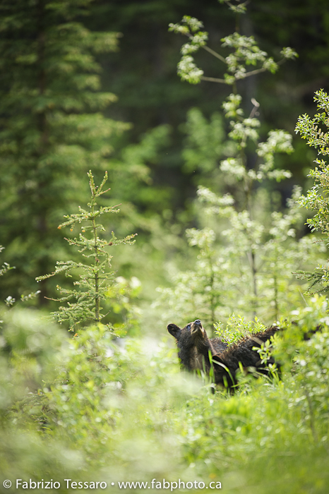 Black bear cub in Jasper National Park, Alberta, Canada.