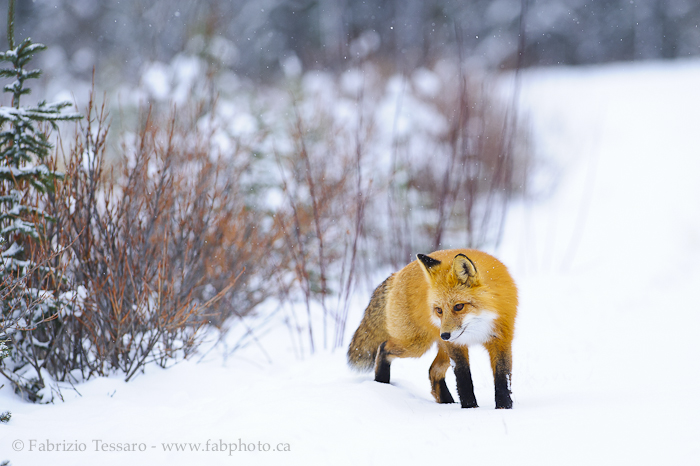Jasper National Park, Alberta Canada, red fox,