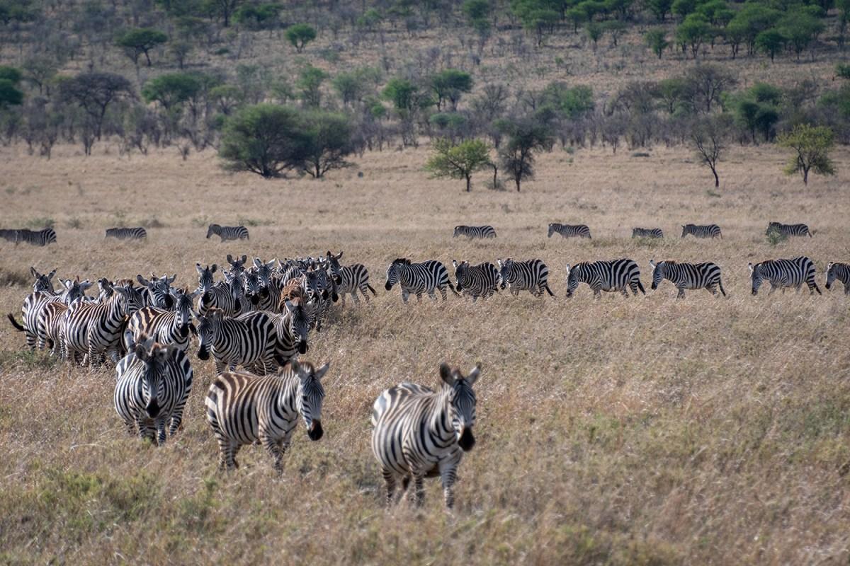 Tanzania, la grande migrazione del Serengeti, le zebre