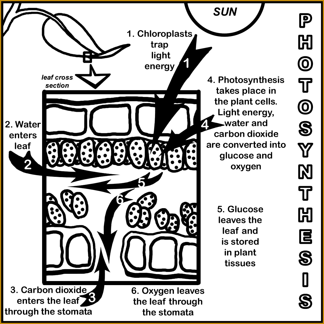 7 Photosynthesis Worksheet High School