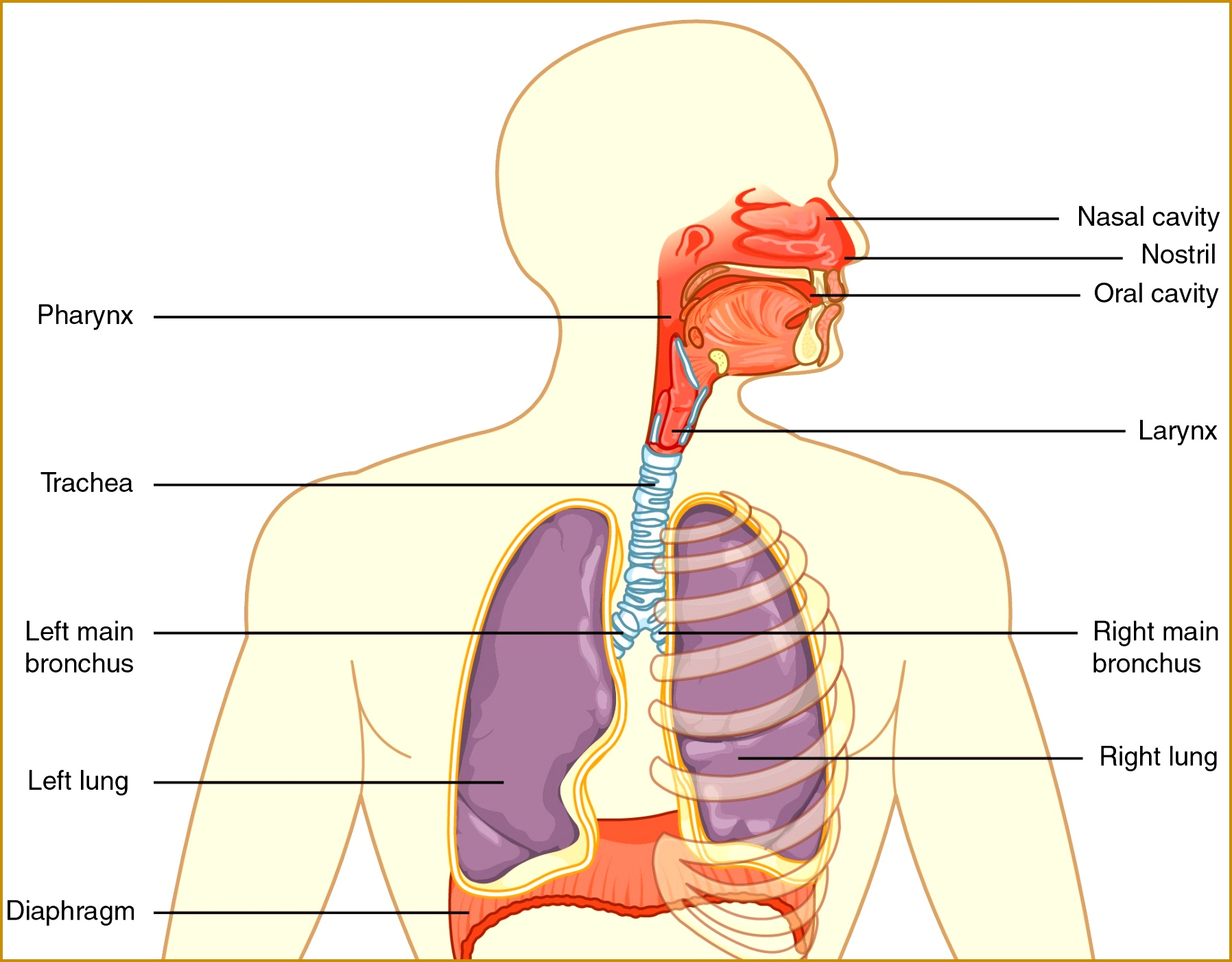 7 The Respiratory System Worksheet
