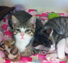 Fab-Finds-Featured-Story-flagler-humane-society-kittens