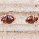 How to Get Rid of Bed Bugs in Your House