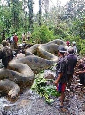 37 days to kill this Anaconda.