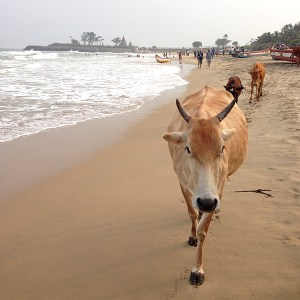 India's cows, sacred cow, beach cow, Shore Temple, UNESCO World Heritage Site, Bay of Bengal, Mamallapuram, Mahabalipuram, Tamil Nadu, South India, India, Faces Places and Plates Blog, Heritage, Tamil Nadu, Food Travel, Food Tourism, Indian Food, Culinary Tours, Karen Anderson, Pauli-Ann Carriere