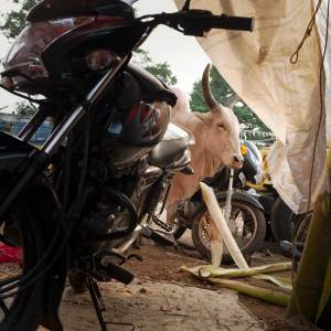 A white cow with large horns is framed between a white tarp and a black motorcycle on the grounds of a vegetable market in Madurai.