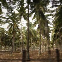 Tall palms on the grounds of Isha in Coimbatore, Tamil Nadu, India