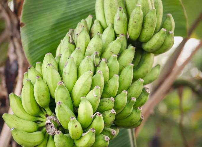 Fresh Bunch Bananas
