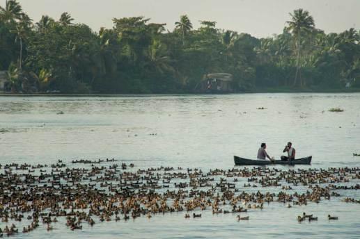 A plentitude of ducks along the Kerala Backwaters.