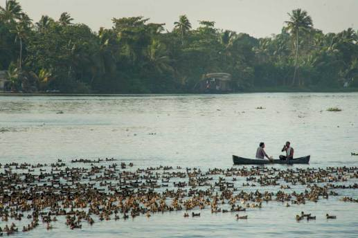 A plentitude of ducks along the Kerala Backwaters.