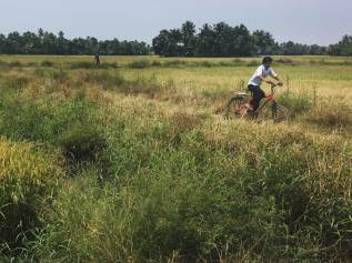 A cycle through the rice fields, Chennamkary.