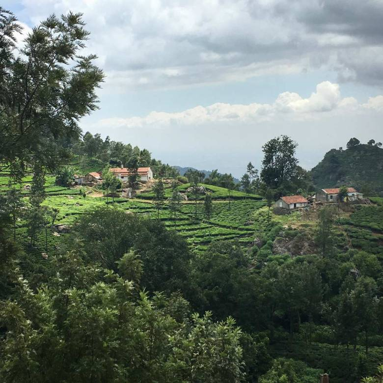 Tea Plantation Vista
