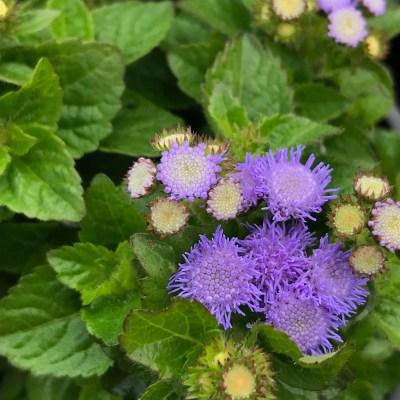 Image of Ageratum houstonianum 'Ariella Blue'