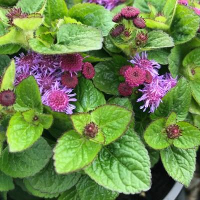 Image of Ageratum houstonianum 'Ariella Violet'