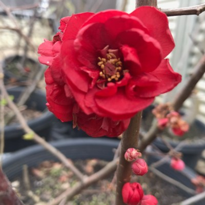 Image of Chaenomeles speciosa double red