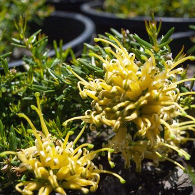 Image of OZBREED <B>Gold Cluster™</B> <I>Grevillea</I> 'H22'