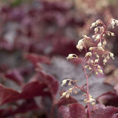 Image of Heuchera 'Purple Palace'