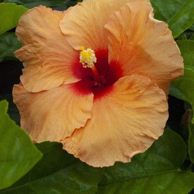 Image of Hibiscus 'Surfrider'