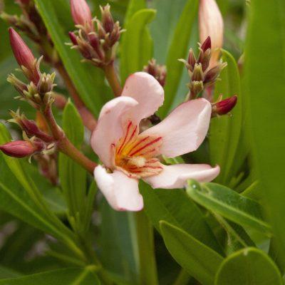 Image of Nerium oleander 'Dwarf Apricot'