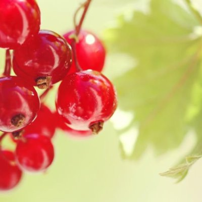 Image of Ribes rubrum 'Red Currant'