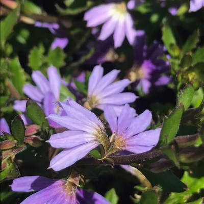 Image of Scaevola 'Blue Ribbon'
