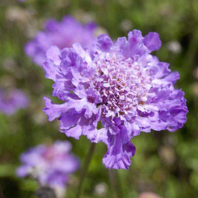 Image of Scabiosa columbaria 'Vivid Violet'