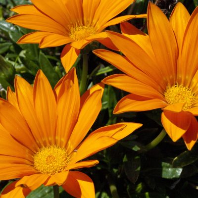 Image of Gazania 'Orange'