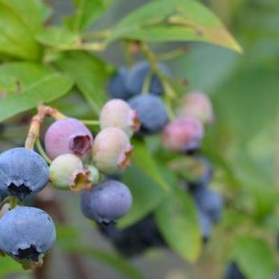 Image of Vaccinium species 'Blueberry'
