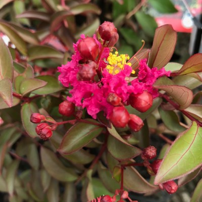 Image of Lagerstroemia 'Infinitini Watermelon'