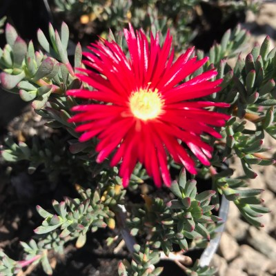 Image of Mesembryanthemum 'Red'