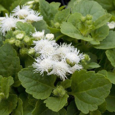 Image of Ageratum houstonianum 'Ariella White'