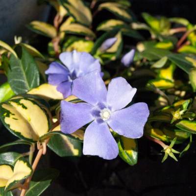 Image of Vinca 'Illumination'