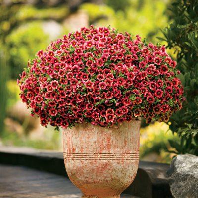 Image of Calibrachoa Superbells 'Coralberry Punch'