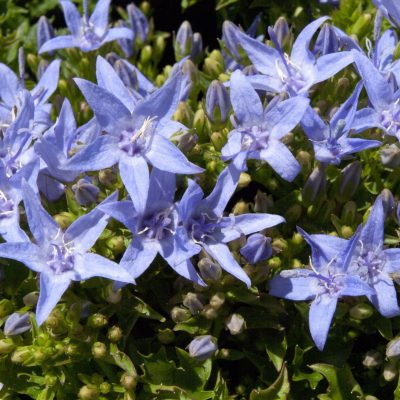 Image of Campanula 'Filigree Blue'