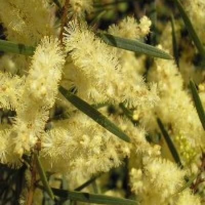 Image of Acacia floribunda 'Abundance' TM