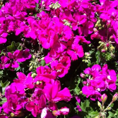 Image of Geranium Calliope 'Big Rose'