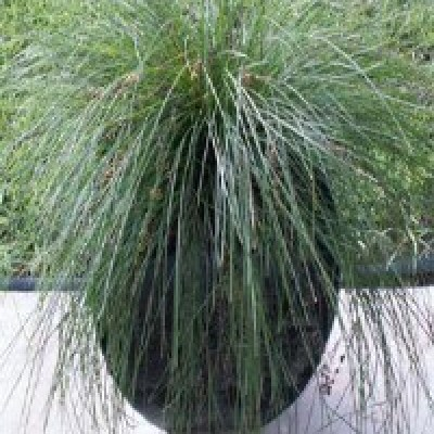 Image of Lomandra 'Emerald Grace'