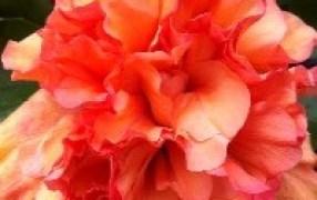 Hibiscus 'Klahanie Golden Dream' | Faceys Nursery