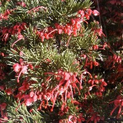 Image of Grevillea 'Nancy Otzen'™