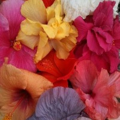 Image of Hibiscus 'Assorted'