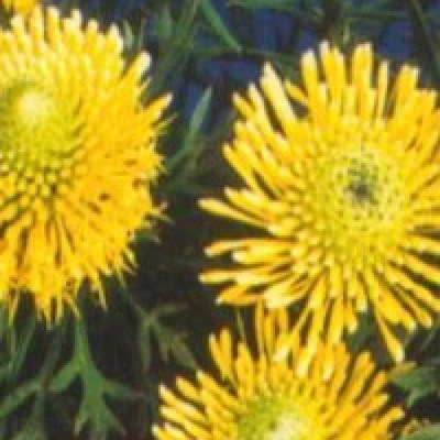 Image of Isopogon 'Little Drumsticks'™