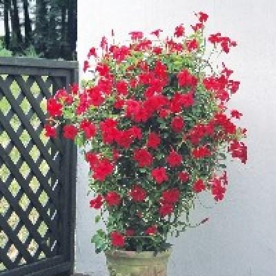 Image of Mandevillea 'Mini Crimson'